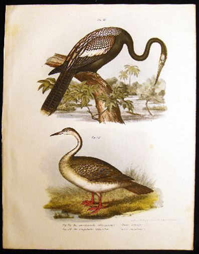 Der Amerikanische Schlangenvogel (Plotus Anhinga) & Der Senegalische Lappenfuss (Podica Senegalensis) the Snakebird or Water-Turkey & the African Fin-Foot. Bilder-Atlas Zur Wissenschaftlich-Popularen Naturgeschichte Der Vogel.