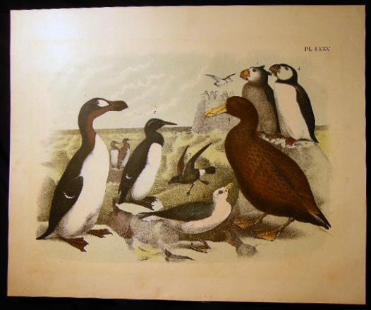 Pl. LXXV Great Auk, Common or Foolish Guillemot, Murre, Giant Petrel or Giant Fulmar, Mother Carey's Geese, Sea Parrot, Tufted Mortmons, Fulmar, Mother Carey's Chicken. Art - 19th Century - Ornithology - Theodore Jasper.