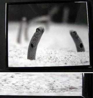 Black Spotted Garden Eel, Okinawa Black and White Photgraph Signed By Kanako Uchino. Kanako Uchino