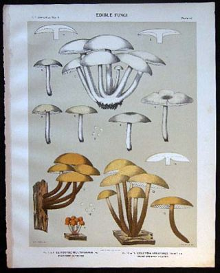 Original Color Lithograph Plate 47 Clitocybe Multiformis & Collybia Velutipes. Americana -...