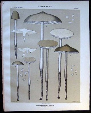 Original Color Lithograph Plate 48 Collybia Radicata. Americana - Mycology - Mushrooms - Fungi -...