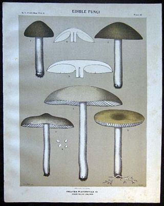 Original Color Lithograph Plate 49 Collybia Platyphylla. Americana - Mycology - Mushrooms - Fungi...